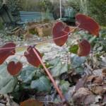 jardin du 62 fevrier tiarella 25